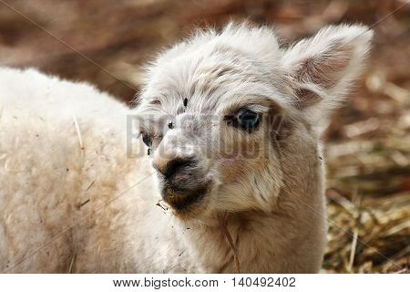 a young white llama with blue eyes