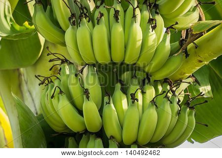 Raw bananas are on the tree close up.