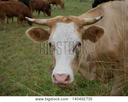 brown cow on pasture on forest background
