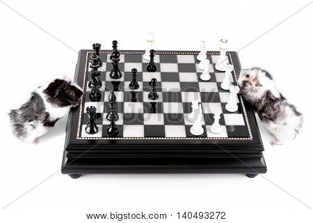Two little black and white Guinea pigs playing chess