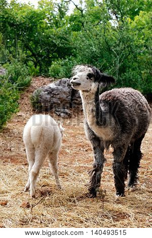 Grey ie Mother Llama with her  child