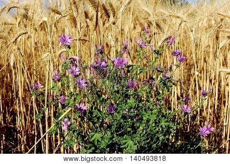 a cornfield with purple cornflowers in summer