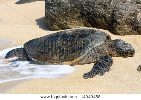 Hawaiian Green sea turtle resting