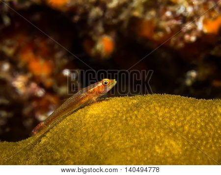Underwater picture of Goby fish on the coral