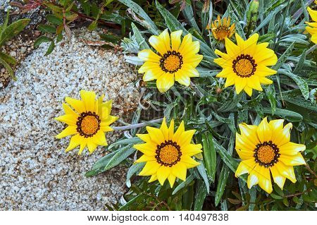 Blooming yellow flower gazania on the Mediterranean Sea in France