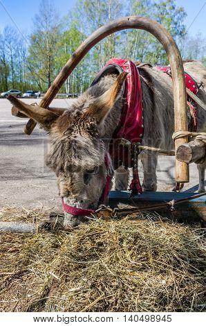 Harnessed Donkey Portrait