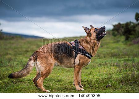 german shepherd dog pose full body with head hight
