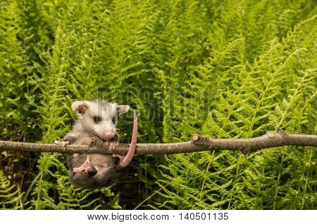 A baby Opossum hanging from a branch.