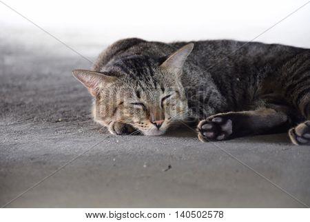 Thai Sleeping cat on concrete the floor.