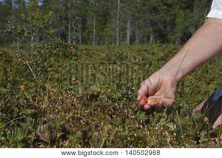 Hand picking cloudberrys on a morass in the North of Sweden.