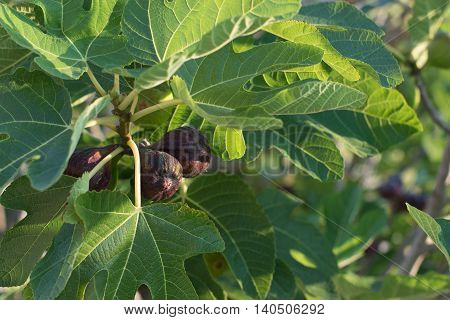 Fig fruit growing on a branch of a fig tree