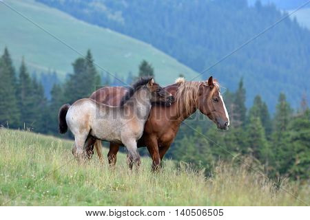 mare and cute playful foal in summer mountain pasture