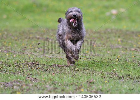 happy dog running on field in summer