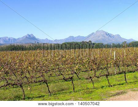 Grape Farm, Stellenbosch, Western Cape South Africa 01b