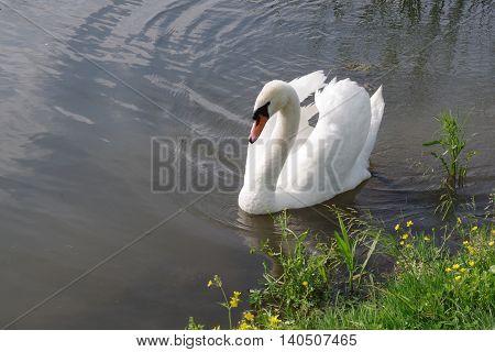 Single male swan swims near the shore.