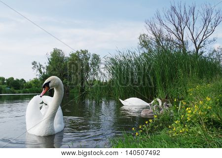 Swan family eats in the water near the shore.
