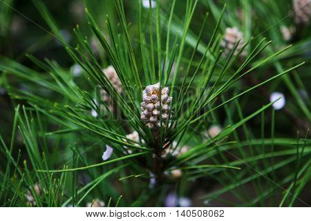 pine cones shoots. Japanese cedar. The nature of the world. Japan