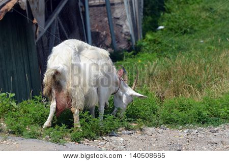 Domestic goat. Ukraine
