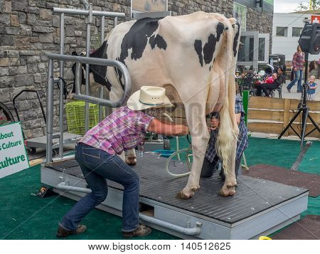 CALGARY, CANADA - JULY 8: Cow milking demonstration at the Calgary Stampede at sunset on July 8, 2016 in Calgary, Alberta. The Calgary Stampede is often called the greatest outdoor show on Earth.