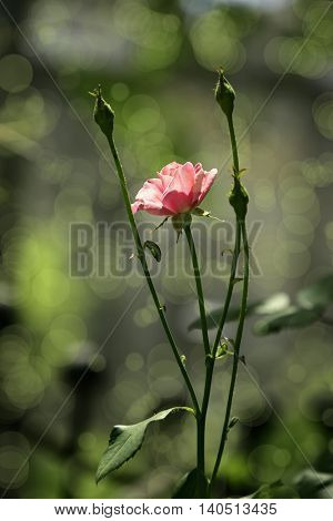 close up shot of pink rose in garden.