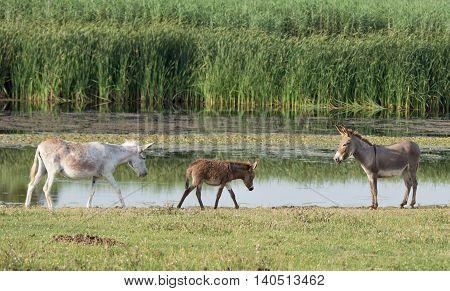 Donkeys Beside Pond