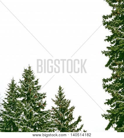 Snow covered trees. fir branch isolated on white background.