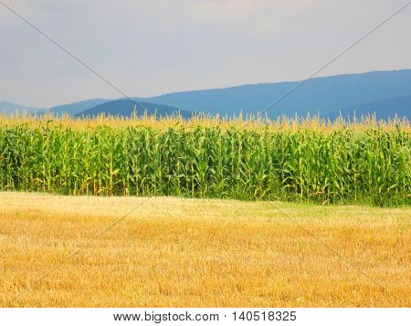 Corn field between field after harvest and hills