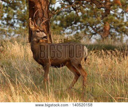 A young Mule Deer buck looking back in a Ponderosa Pine forest in Colorado