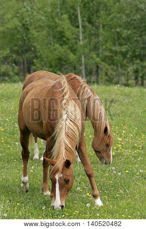 Two Arabian chestnut mares grassing in meadow