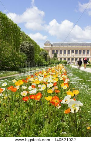 Colorful Poppy flowers (Papaver) at the National Museum of Natural History Paris in May