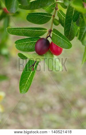 Karonda or Carunda Fruits Tropical Fruits in Southeast Asia hanging on tree.