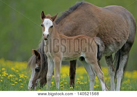 Welsh Mountain Pony Mare with colt at summer pasture