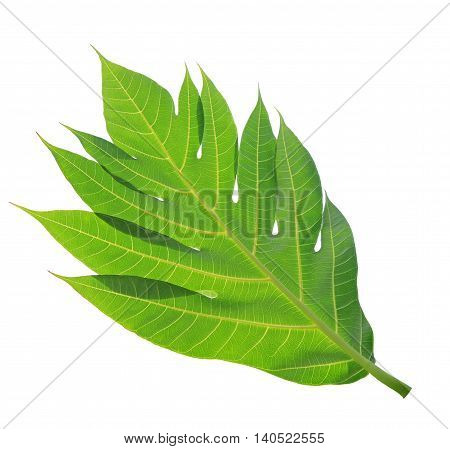 Close up image of green breadfruit leaf texture or background