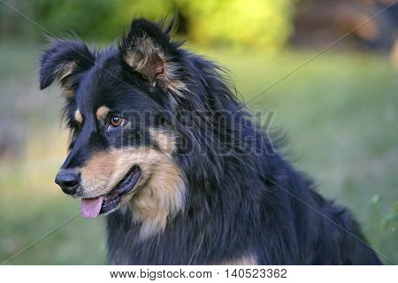 Collie cross black and tane in yard, portrait
