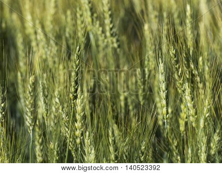 Wheat, triticum, triticeae field texture close up background