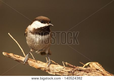 Chestnut-backed Chickadee Leaning In Close On A Perch In California