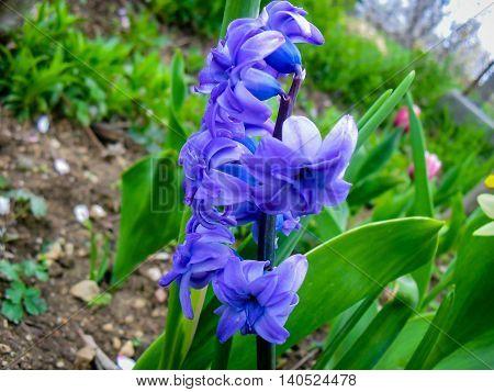 Bluebell blue flower that grows in my garden