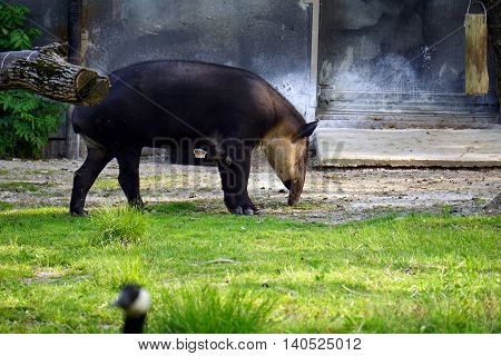 BROOKFIELD, ILLINOIS / UNITED STATES - MAY 21, 2016:  A Baird's tapir (Tapirus bairdii), also known as the Central American tapir, puts its nose to the ground.