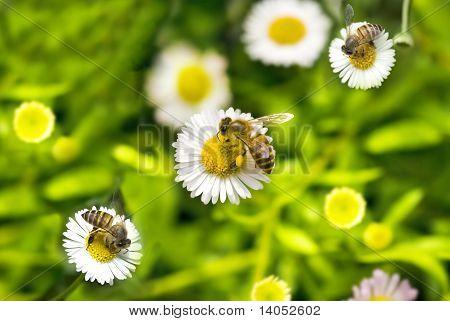 Macro Bee On Camomile