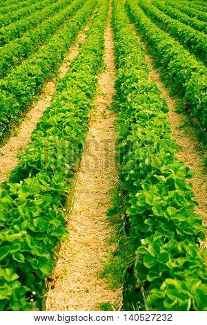 Long parallel rows bright green strawberry plants with straw paths between converging vertically