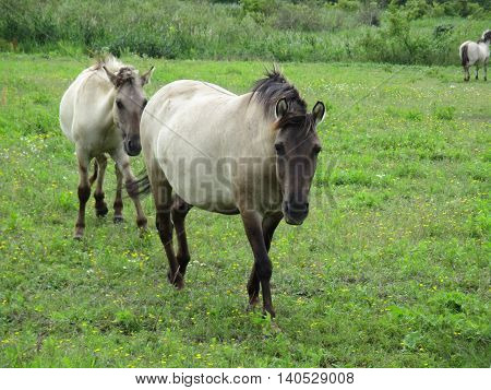 Frontal view of two Konik horses in a grassland area