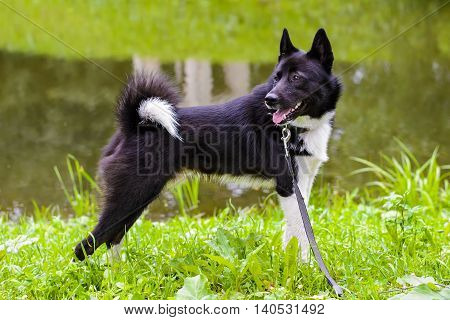 Husky dog standing on green meadow. Russian - European Laika is a hunting dog for hunting wild fowl and animals. Exhibition Stand dogs. Beautiful dog on a walk.