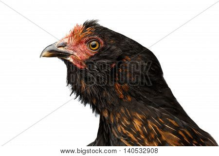 Closeup Head of Brown with Ginger Chicken Curious Looks Isolated on White Background in Profile view
