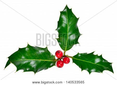 Christmas holly, design element with opy space. Holly corner.