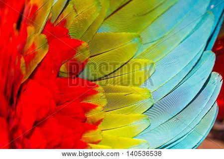 Close-up of a colorful wing of an ara parrot bird in the amazon