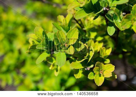 Goldflame Spirea is a Compact Mounded Deciduous Shrub