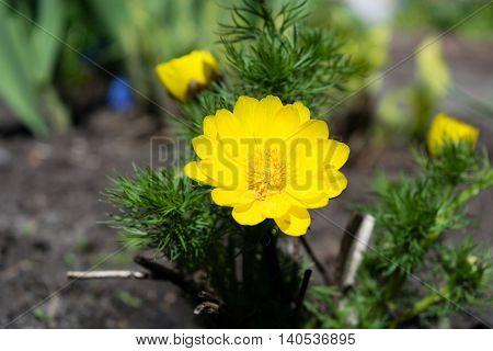 Beautiful spring yellow flowers Pheasant's eye Adonis vernalis