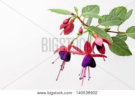 Closeup view of the colorful fuchsia flower wth green leafs. On the white background