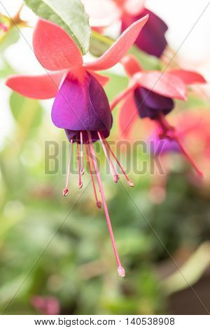Closeup view of the colorful fuchsia flower. Vertically.