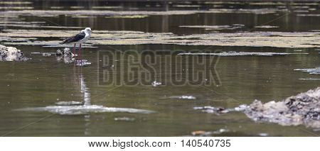 The Snowy Egret on the Water in Vietnam